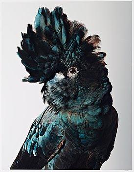 "216. LEILA JEFFREYS, ""Pete Red-Tailed Black Cockatoo"", 2012."
