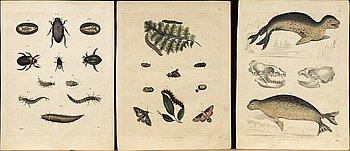 10 Hand coloured  Lithograph by C. von Schach,  Stuttgart ca 1840.