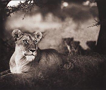 "157. Nick Brandt, ""Lioness with cubs under tree, Serengeti, 2004""."