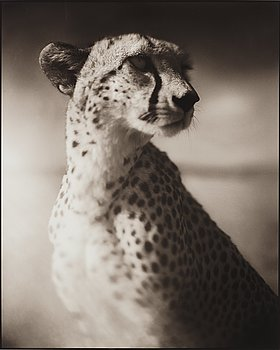"133. Nick Brandt, ""Portrait of Cheetah Against Dark Sky, Masai Mara, 2004""."