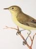 """BÖcker, """"svenska fåglar"""", c:a 50 häften, efter m, w och f von wright."""