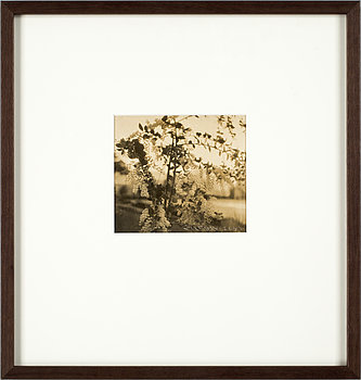 "308. Henry B. Goodwin, ""Acacia i blom 5 januari 1931""."