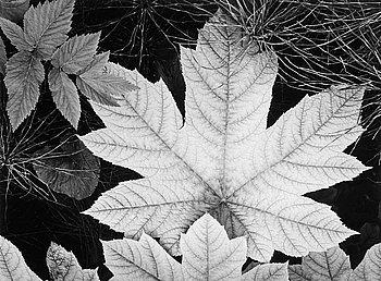 "214. Ansel Adams, ""Leaf, Glacier Bay National Monument, Alaska"", 1948."