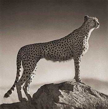 "208. Nick Brandt, ""Cheetah Standing on Rock, Serengeti 2007""."