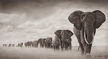 "105. NICK BRANDT, ""Elephants walking through grass"", Amboseli 2008."