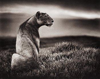 "17. Nick Brandt, ""Crater Lioness, Ngorongoro Crater, 2000""."